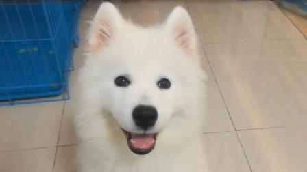 萨摩耶小狗视频: 卖萌耍宝, 动耳朵, 各种办法给主人套近乎