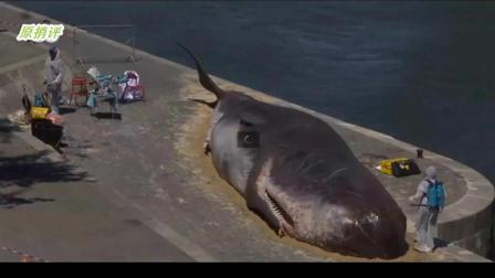 你能相信吗? 一只鲸鱼在巴黎塞纳河岸边搁浅, 难道是河水太浅了吗