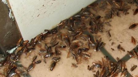 家里蟑螂成群? 只需在角落里撒一点这个, 比杀虫剂还管用