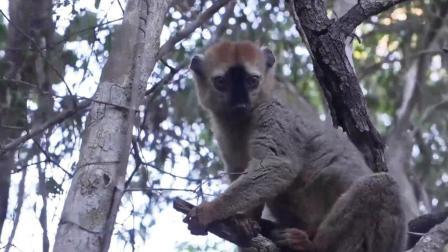 非洲密林探险 寻访狐猴踪迹 73