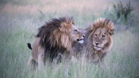两头非洲雄狮大战老狮王, 狮群惨遭大更换, 动物世界最惨烈的一幕!