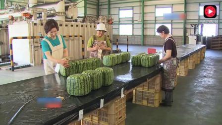 日本将西瓜玩出新高度, 方形西瓜一个要5万日元, 看完我笑了