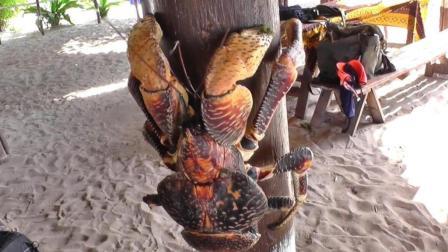 半岛奇闻 这种螃蟹力大无比 养一个来开啤酒瓶挺不错