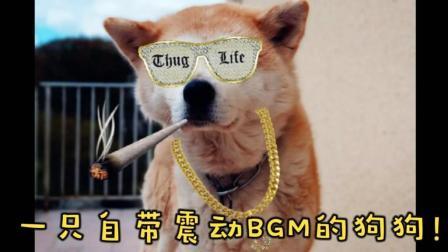 一只自带震动BGM的狗狗! doge秋田犬!
