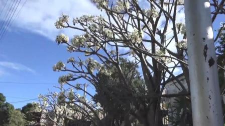 中国人的羊和开花的猴面包树 103