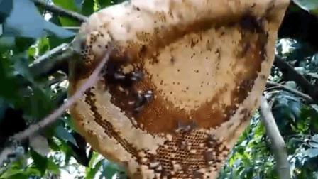 男子顺着蜂群找到蜂巢 直接上火把烧 不怕把蜂蜜烤糊了吗?