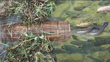 柬埔寨小男孩也是捕黄鳝高手, 给他一个鱼笼, 分分钟给你半桶黄鳝