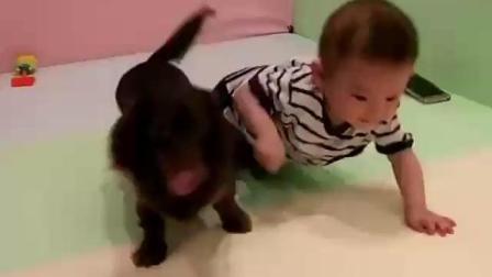 正在学爬的小宝宝, 边爬边叫, 想找妈妈结果汪星人一直挡路, 小宝宝都快气哭了!