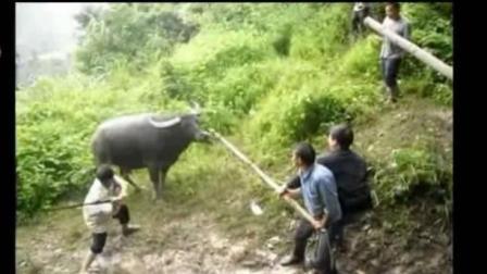 打人牛的下场好惨, 再苦不杀耕地牛, 再穷不卖看家狗!