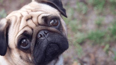 世界上最丑的狗, 一只却要上万元