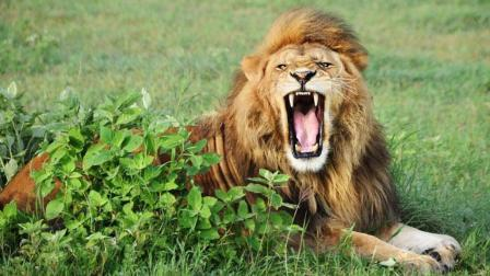 非洲大猫的捕猎方法和野狗鬣狗的掏肚手段比就太人道了