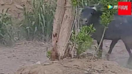 公驴寻找伴侣, 母驴不答应, 两头驴就打了起来_