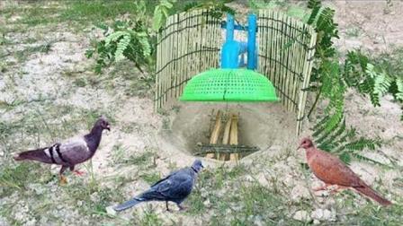 全自动捕鸽神器! 农村小哥制作的捕鸟陷阱, 野鸽飞过都要往里面钻
