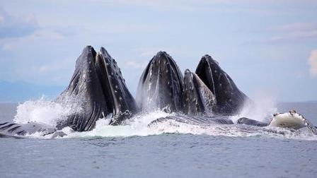 千年难得一见, .驼背鲸家族出动,