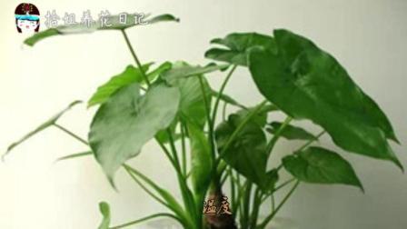 为什么你养的滴水观音盆栽不滴水?