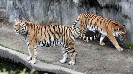 一山不容二虎, 一只老虎被咬死,