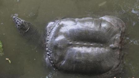 福建泉州一水池内现鳖王实为巨鼋