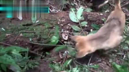 老汉带着大黄狗山上打猎, 嗅出不对劲, 在土堆里挖出野山货