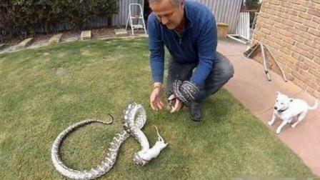 两条蟒蛇缠在一起, 真相居然是吃老鼠,