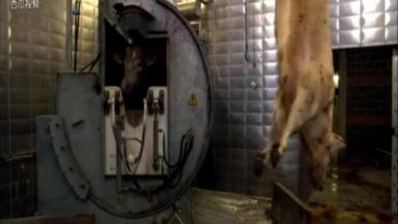 国外屠宰场原来用这种机器来杀牛 看的我心惊肉跳