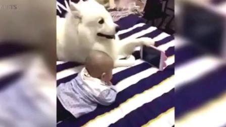 小宝宝用手机看电视, 狗狗这样做, 太有爱了!