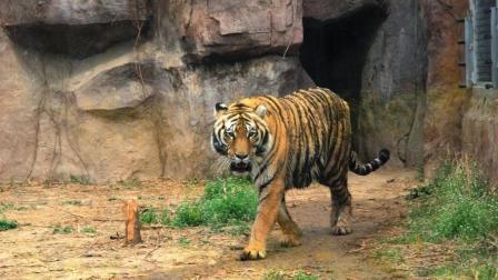 老虎大战狮子, 结果惨遭非洲雄狮打死!