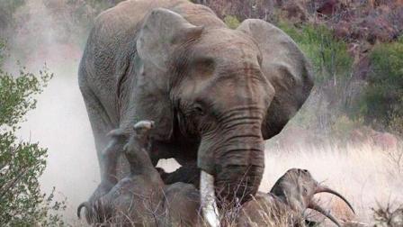 公象攻击犀牛母子,