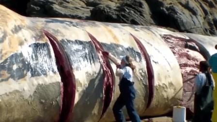 分切一头搁浅的巨型鲸鱼, 必须切成块才能运走