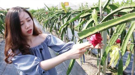 美女逛农村遇上大片火龙果, 颜色通红恨不得全摘光!
