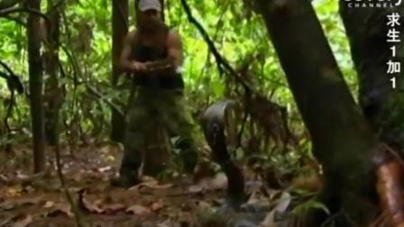 求生一加一, 两猛男遭遇成年的眼镜王蛇, 吓的落荒而逃!