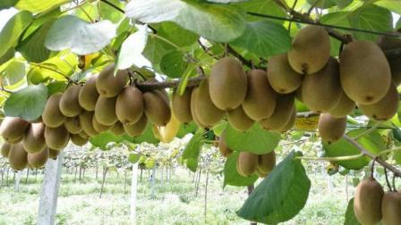 猕猴桃种植技术 猕猴桃品种选择及栽培管理教程 红心猕猴桃种植技术