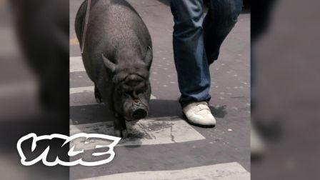 VICE短片   宠物网红:把自己当狗的黑猪La Chata