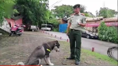 二哈当警犬, 这可能是世界上最蠢的警犬, 号令什么的根本不懂