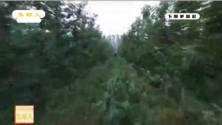 种植户的樱桃种植园里的草半米高, 草是故意种的
