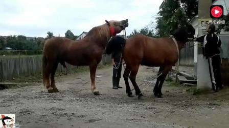 男子养了一匹体格威武的公马, 这天牵着马给村里的养马户配种