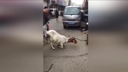 待宰山羊为保腹中幼崽 当街跪屠夫让人心酸