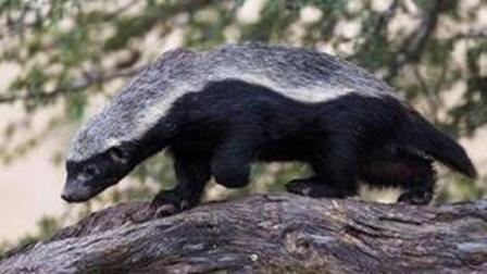 平头哥蜜獾的智商有多恐怖, 看完这个视频你就服了!