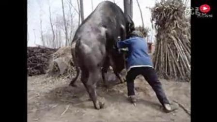 给大水牛配种, 看把大叔急得, 恨不得自己上