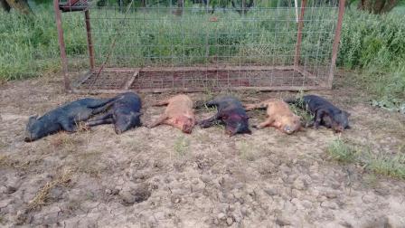 老外将野猪群一步步骗入陷阱杀害, 人与动物之间最起码的诚信呢?