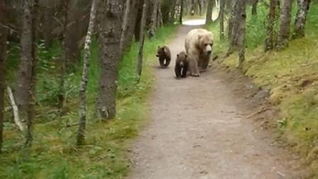 【极酷花园】游客在卡特迈国家公园偶遇闲逛的棕熊母子(美国/阿拉斯加州)【棕熊】