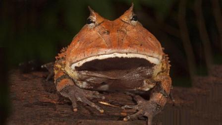 亚马逊森林里最丑的青蛙吃货, 常因太贪吃而被食物活活噎死!