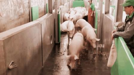 实拍德国机械化杀猪厂, 一群猪高高兴兴的跑进去, 出来就成了肉块