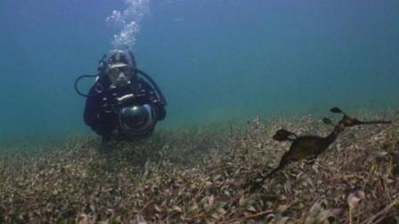 人类首次拍到海底生物海龙繁殖过程, 画面弥足珍贵