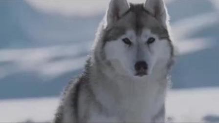 零下八度: 谁说哈士奇傻! 看狗狗们完美团队配合, 捕获大餐!