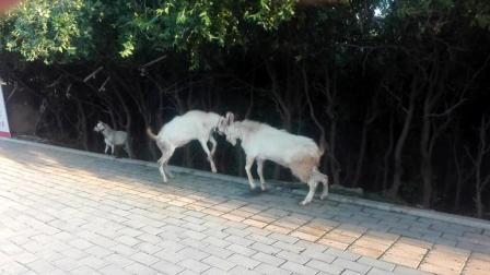 抓拍难得一见两只公羊路边斗狠激战正酣被大妈制止怕打得头破血流