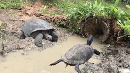 干枯水沟埋鱼笼捕鱼, 农村男孩2小时发现钻进了石龟, 然而却这样做!