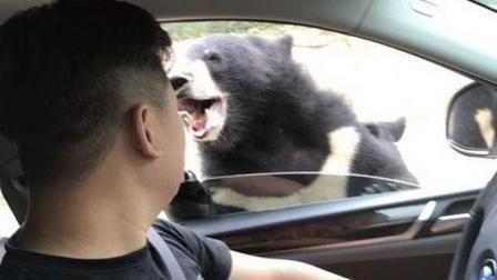 游客在猛兽区被咬伤: 无视规则带来的损害远猛于野兽