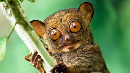 世界上眼睛最大的猴子! 像是戴了一副大眼镜!