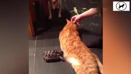 之前网上很火的动态图片, 一只乌龟用头顶猫咪身体, 现在视频版的来了, 还有配音~