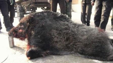 600斤野猪王遇见几条杜高犬, 完全不把猎狗当狗, 开足马力干